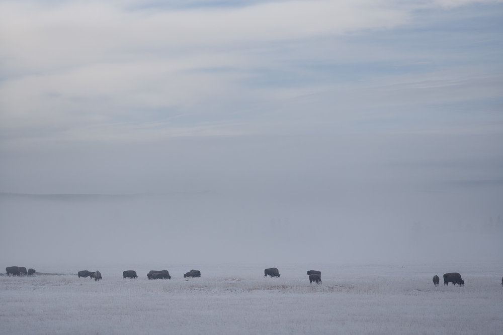 Bison herd grazing by a thermal pool