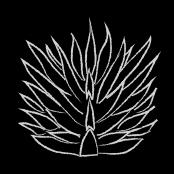 agaves+joven-1.jpg