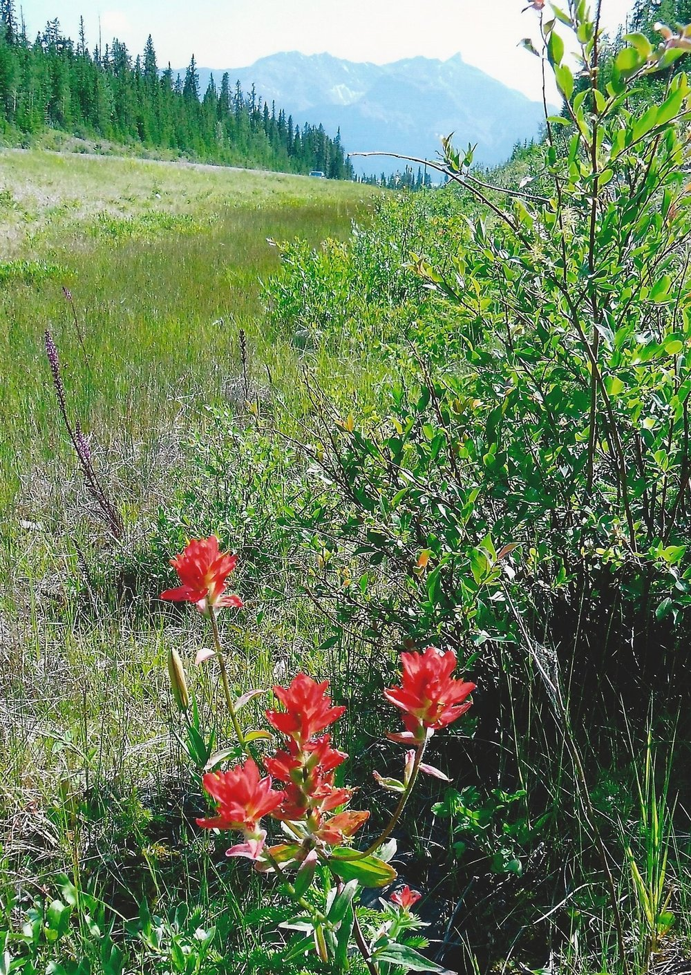 Stewart - Indian Paintbrush.jpg