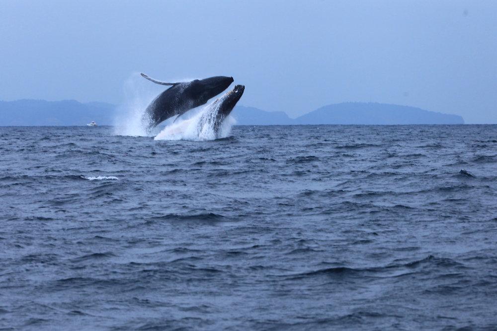 Foto: Ministerio de Turismo de Ecuador - Las ballenas jorobadas y su show de saltos y piruetas