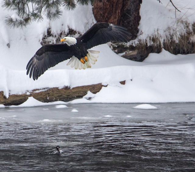 Eagle 1.JPG