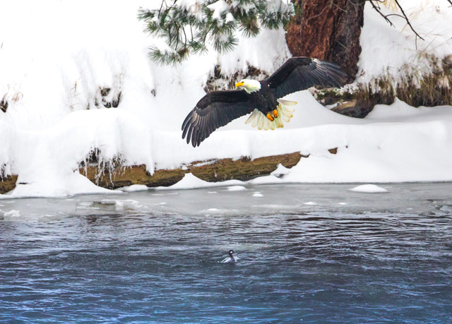 Bald eagle flying over baby chick in river.jpg