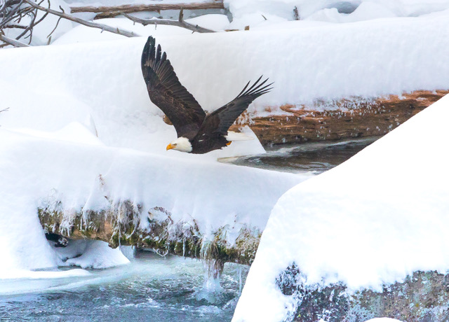 Bald eagle flying over log in river.jpeg