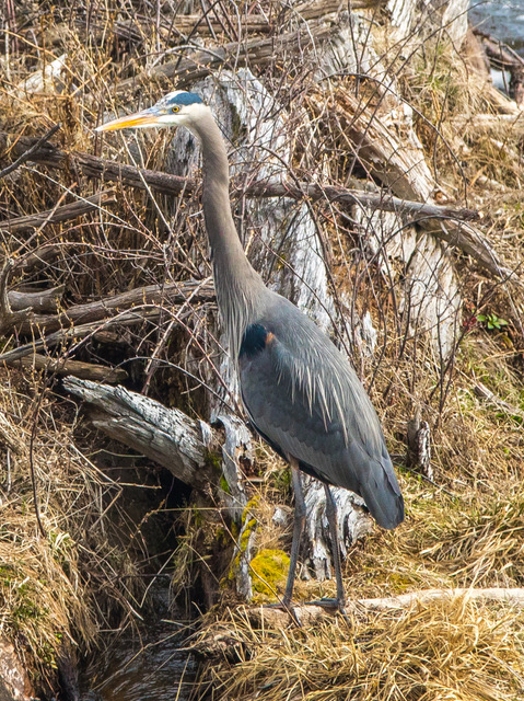 Blue Heron standing on bank.jpg