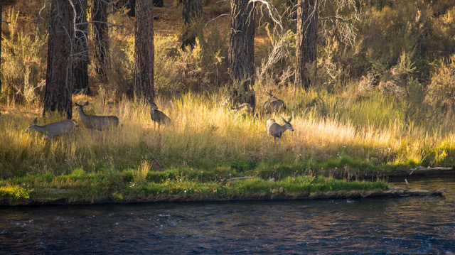 family of Deer on river bank.jpeg
