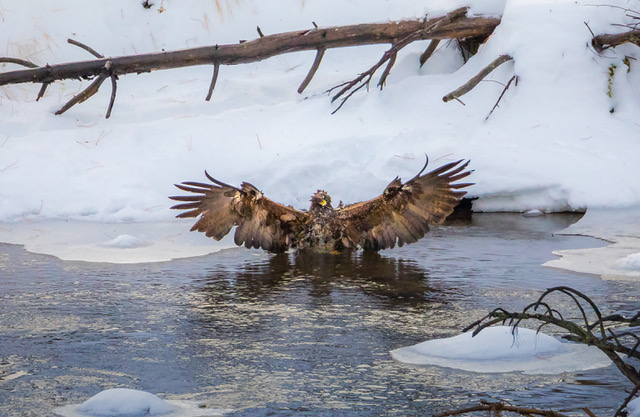 Golden eagle in the river nwm.jpg