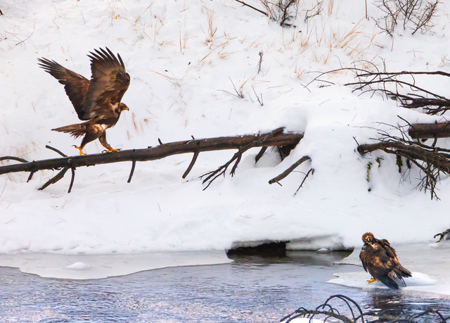 Golden eagle pair in river.jpg