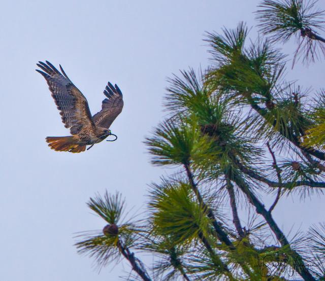 Redtail hawk building a nest nwm.jpg