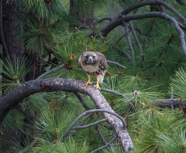 Redtail hawk peering.jpg
