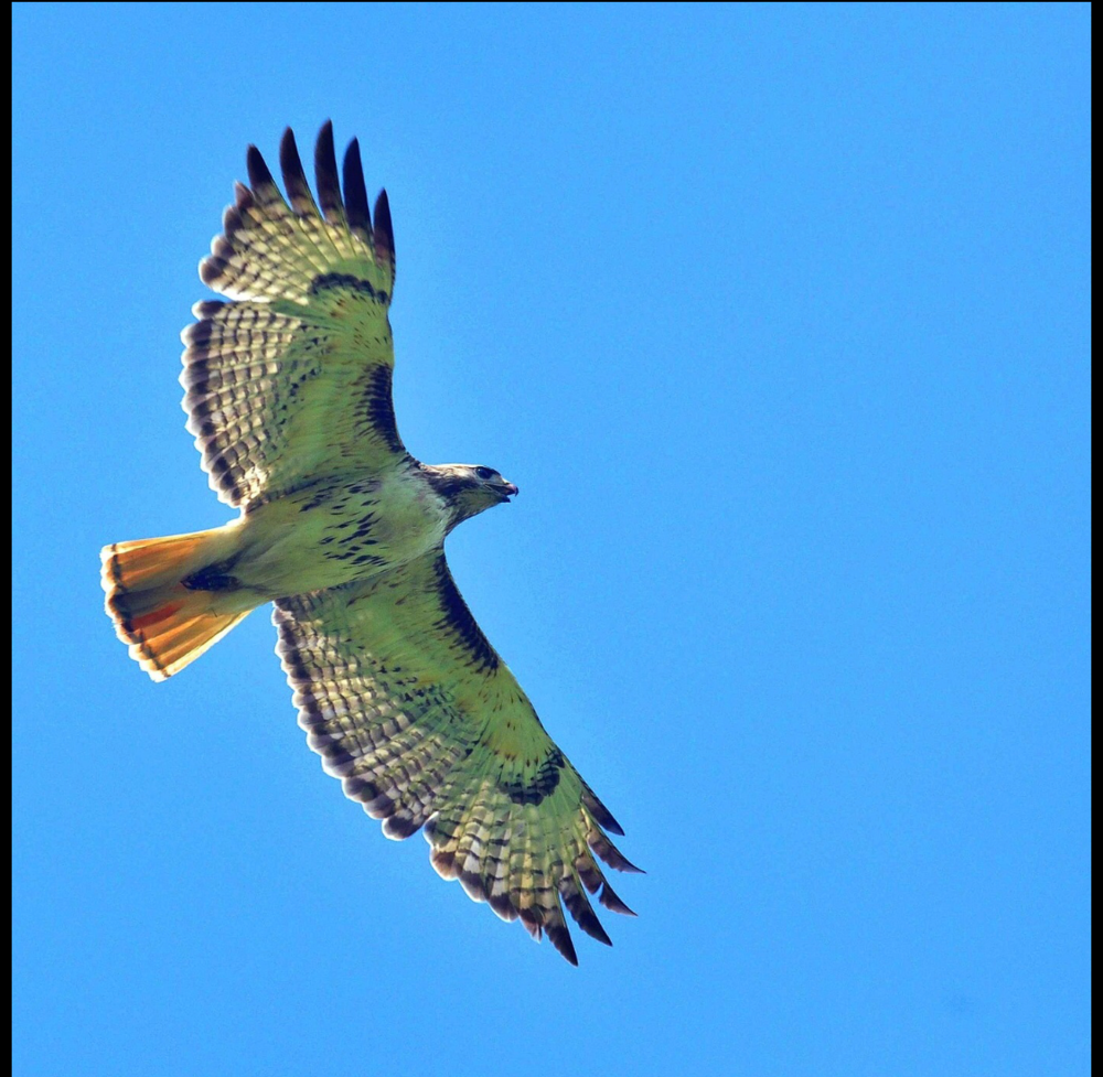 Red-Tailed Hawk -