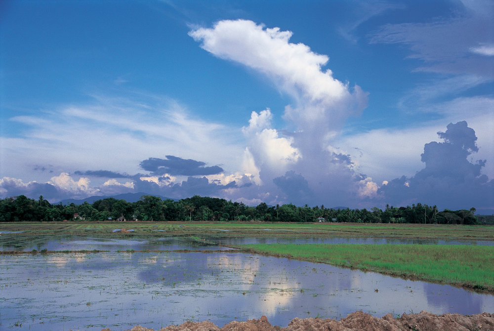 Rice fields in northern Malaysia. Deadly cobras are commonly found in rice-fields where they hunt for rats but rarely attack farmers. Photo: Penang, Malaysia