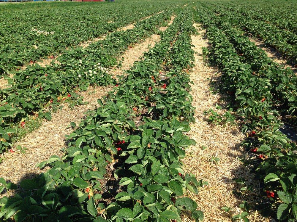 Jordgubbsfält med halmade mittgångar. Halm hindrar vatten att stänka och smutsa ner jordgubbarna.