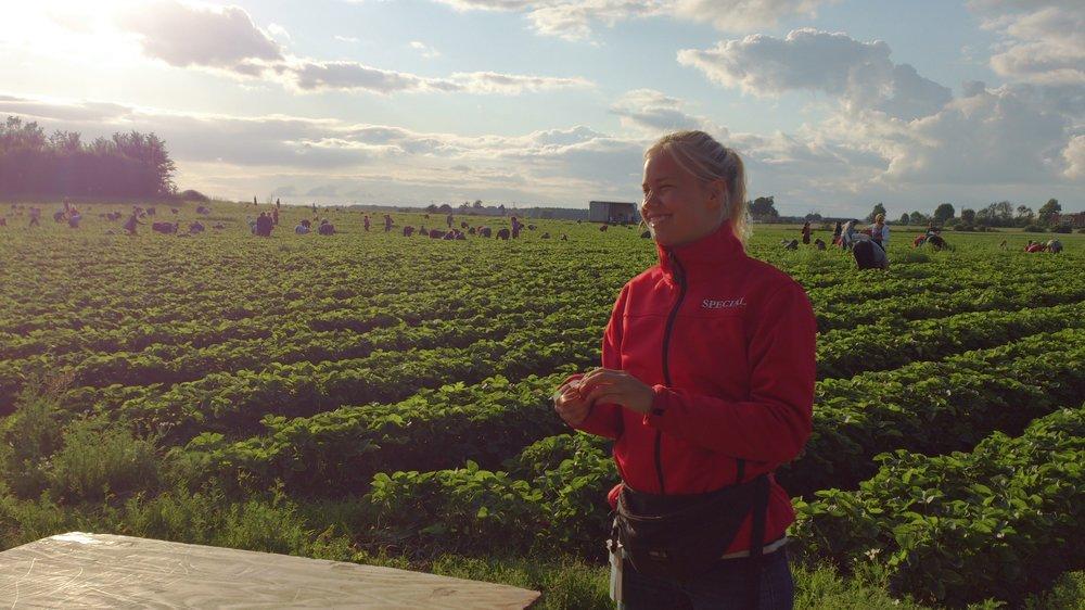 Plockningen startar tidigt på morgonen då jordgubbarna fortfarande är kalla.