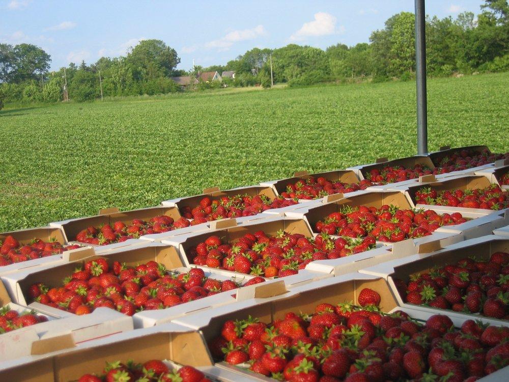 Under högsäsong skördas kring 70000 liter jordgubbar per dag.
