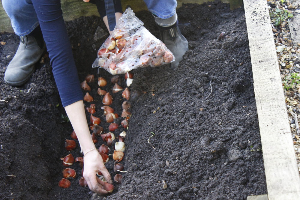 Planting the bulbs