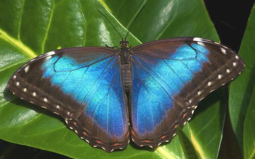 Veragua-06-morpho-butterfly.jpg