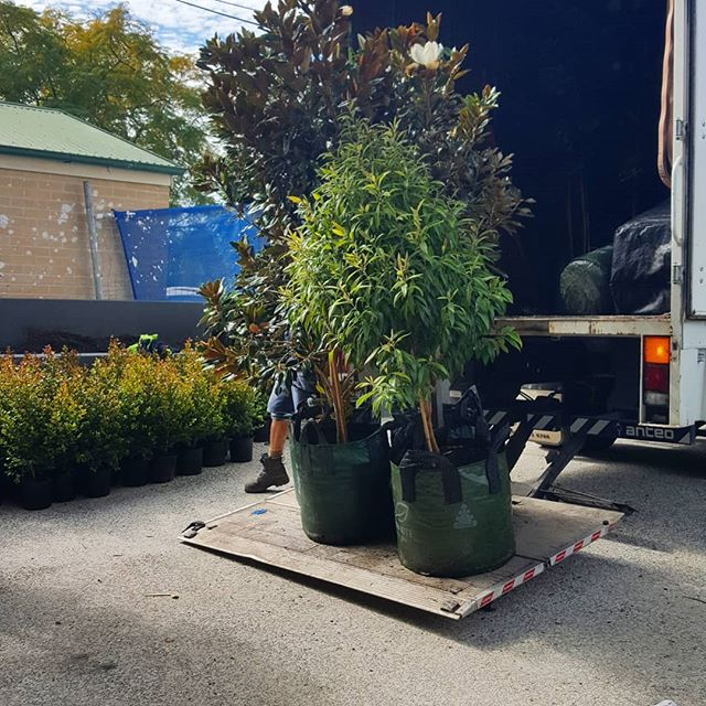 PROJECT UPDATE || The first of the large trees being delivered today at The Hathaway, one of our latest projects.  Designed for @velocitypropertygroup in collaboration with @halarchitects and expertly installed by the team at Groundworks Landscapes.  We can't wait to share more updates over the coming days.  #verdedesigngroup #thinkbeyonddesign #cityliving #auchenflower #modernliving #cityviews #instantlandscape