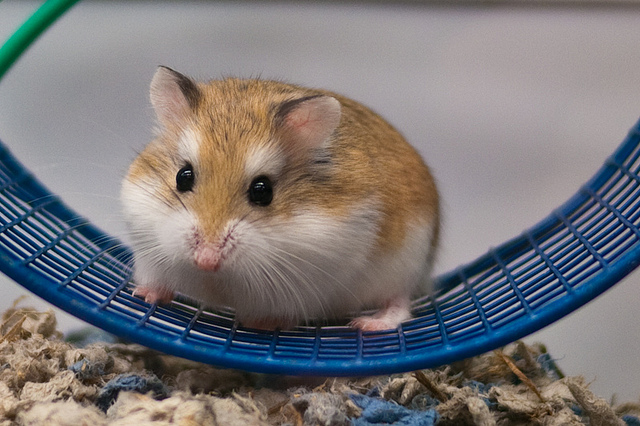 janis cohen hampster on a wheel