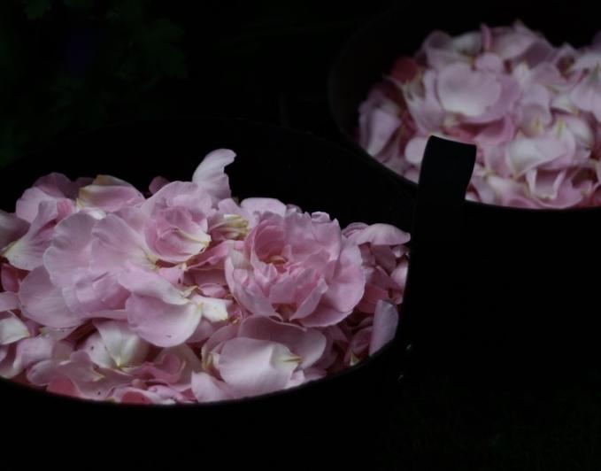 Morning rose distillation.