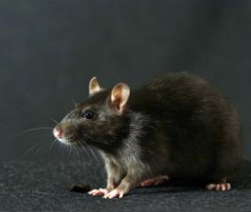 deratisation bureau copropriété rat noir