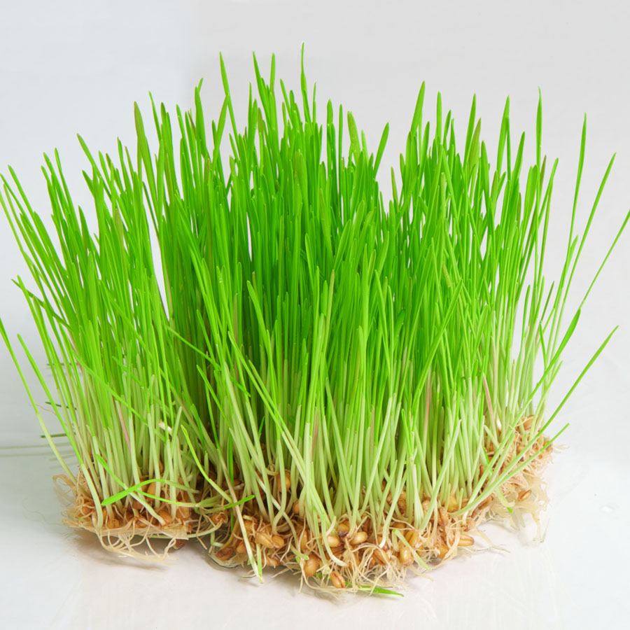 Wheat Grass:  Natural detoxifier (for your grass eater)