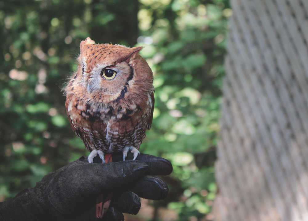 One of the species of owls at the Woodlands Nature Station, this little guy is almost completely blind!