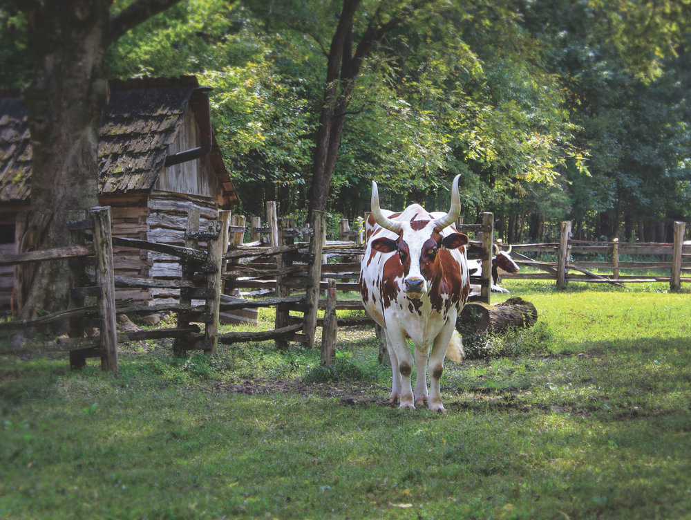 All of the livestock at the Homeplace are speceis indeginous to the time and place of Tennessee in the mid-nineteenth century.