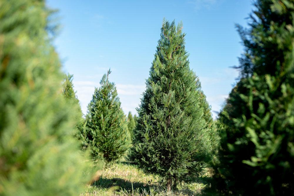 Christmas Tree Farm073.jpg