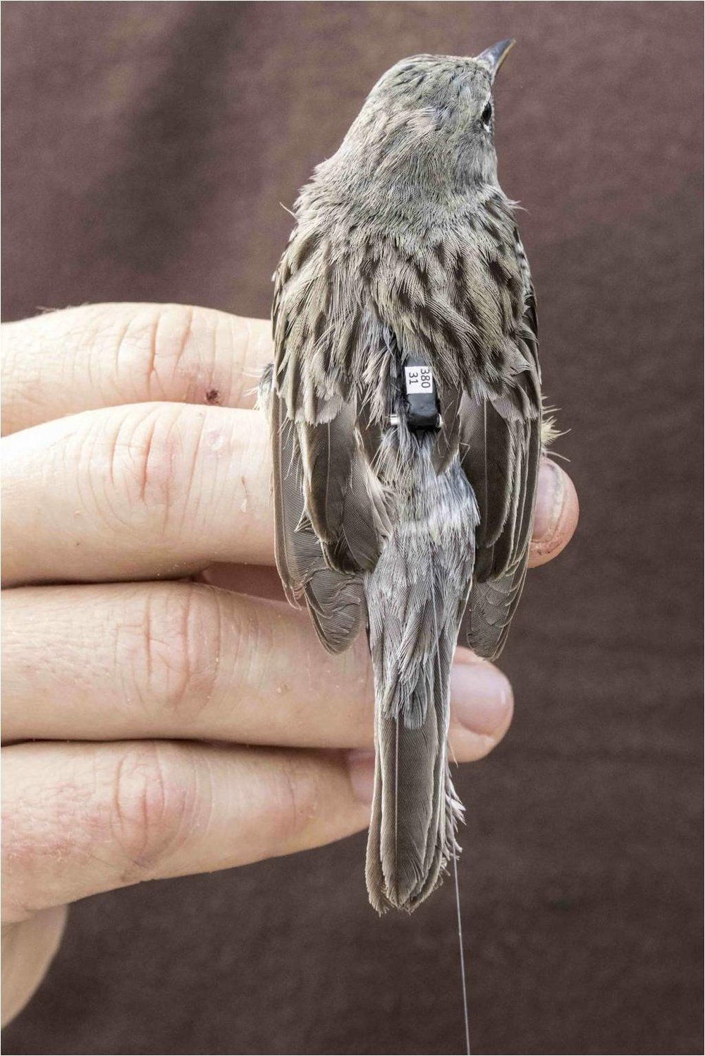 Kirtland's Warbler: Scott Weidensaul