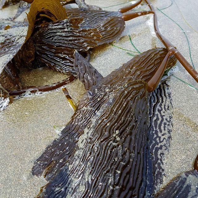 Giant kelp! #kelp #kelpandmorekelp