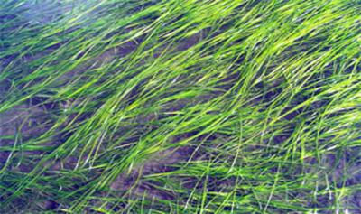Eelgrass (seagrass, not seaweed)