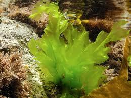 Sea lettuce (green algae)