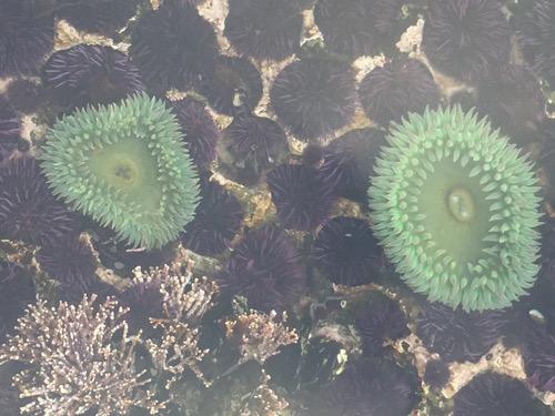 anemone_urchin_tidepool_500.jpg