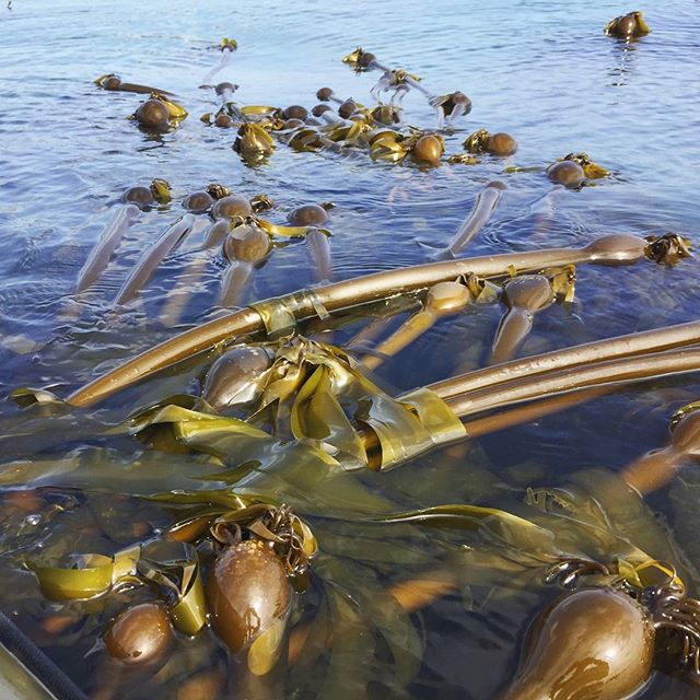Time to make some spicy pickled #bullkelp.  https://www.oceansourcefarms.com/  #kelpburgers #kelprelish #eatkelp #seaveggies #oaklandfirstfriday #kelp #seaweed #kelppickles