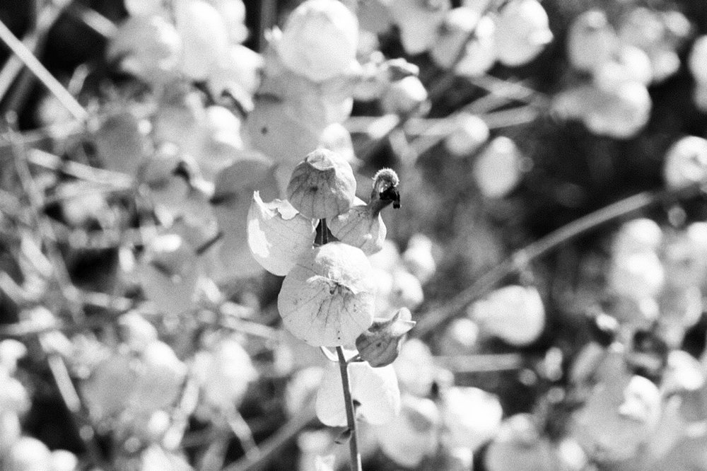 romani_desertflower2.jpg