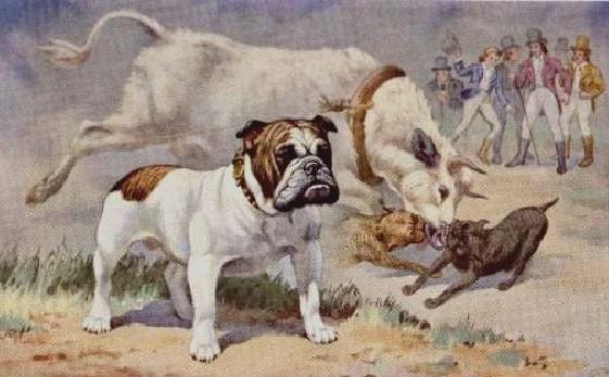An English Bull-baiting dog.    Bulldoggens Historie