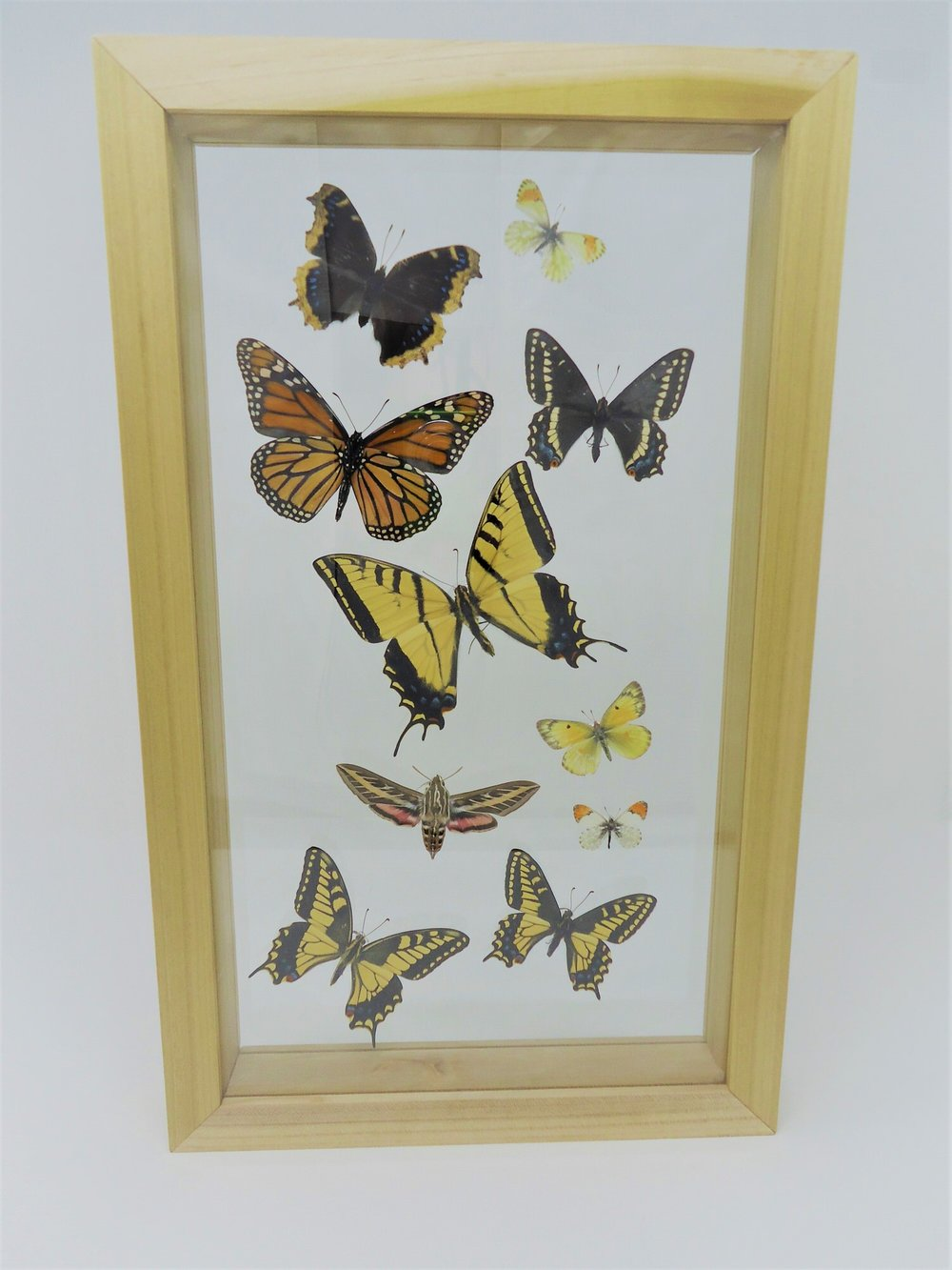 butterflies by matthew columbia basin native papilio monarch sphinx hummingbird framed butterfly shadowbox shadow box frame custom.JPG