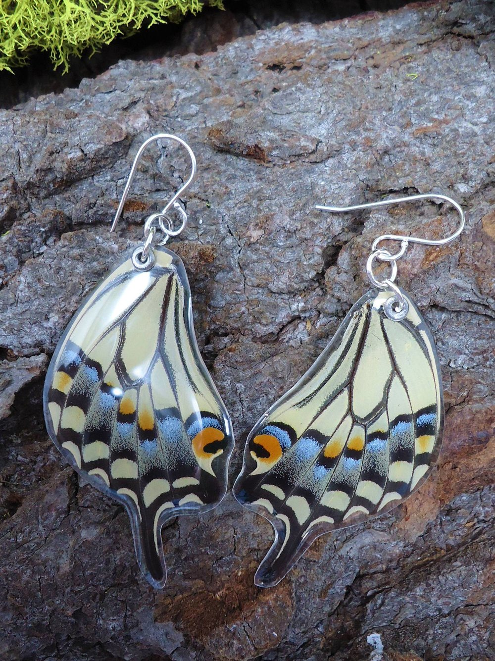 butterflies by matthew papilio oregonius oregonia oregon swallowtail north america native real butterfly wing hindwing dorsal resin sterling silver earrings wood.JPG