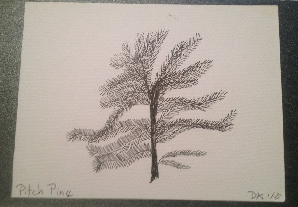Pitch Pine branch study