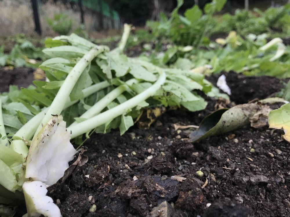 Our terrific daikon laid to waste. The monkey hordes got us bad a few times, we miss those daikon for our nabe! Hopefully we'll be able to install durable, monkey proof fencing soon.