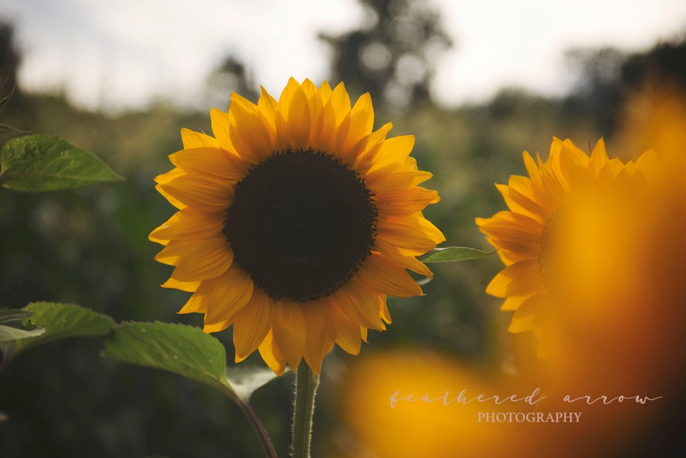 Mad Lizzie's Flower Farm U-Pick Sunflowers in Cross Plains, WI
