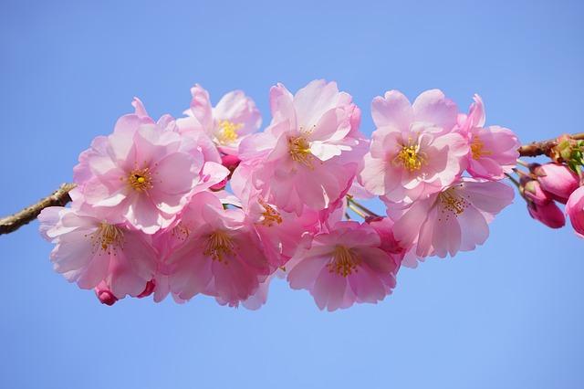 japanese-cherry-trees-324186_640.jpg