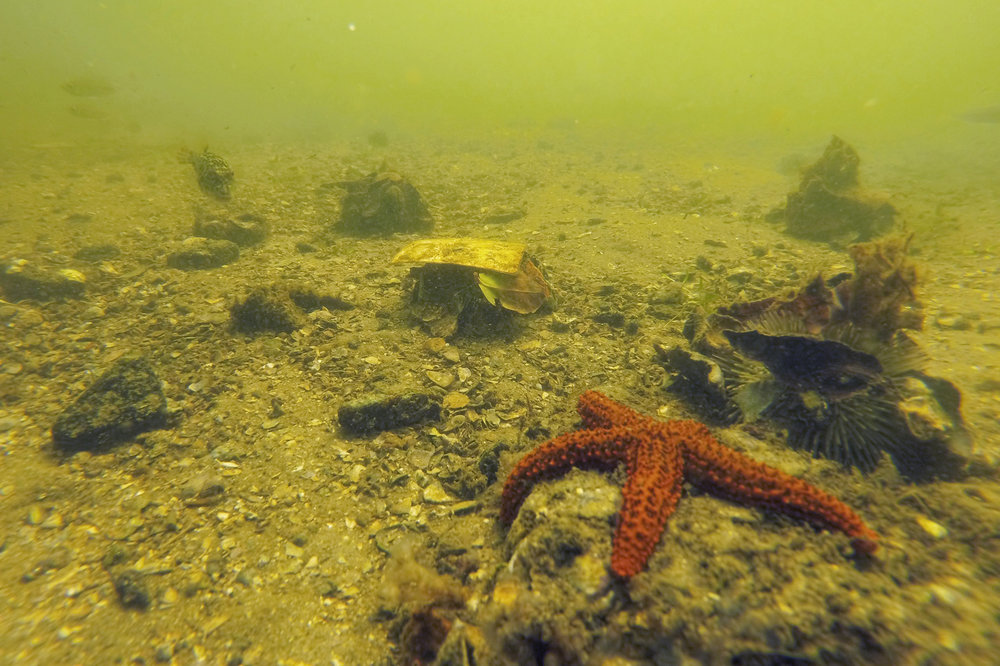 The dark, turbid and polluted water of Guanabara Bay hides its rich biodiversity. Curious fish of different species, bright colored starfish, and shy sea urchins that grab leaves, seaweed and trash are all over the place, at Urca Beach.