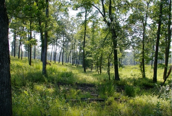 At Catoosa Wildlife Management Area, Cumberland Co., Tennessee, thousands of acres of formerly closed-canopied forests have been restored to high-quality oak savanna. In recent years shortleaf pine has been regenerating and numerous rare plant and animal species have been documented.