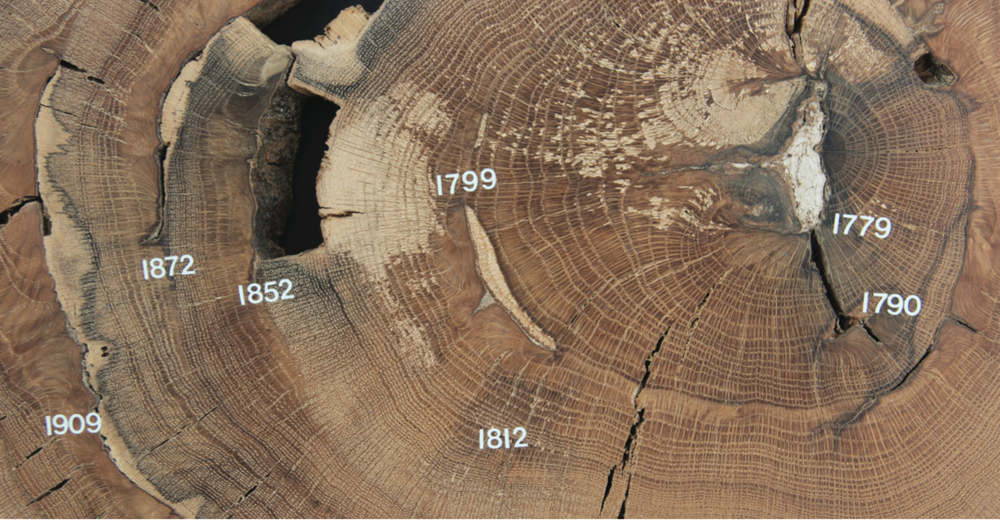 Studies of tree rings help reveal fire histories and improve our understanding of the role of fire in maintaining natural areas (photo: Michael Stambaugh). This section of post oak is from Arnold Air Force Base, Coffee Co., Tennessee. Studies of cores from this area by researchers from the University of Missouri revealed that fires burned on average every 3-5 years since the early 1600s, providing enough fire to maintain oak savanna.