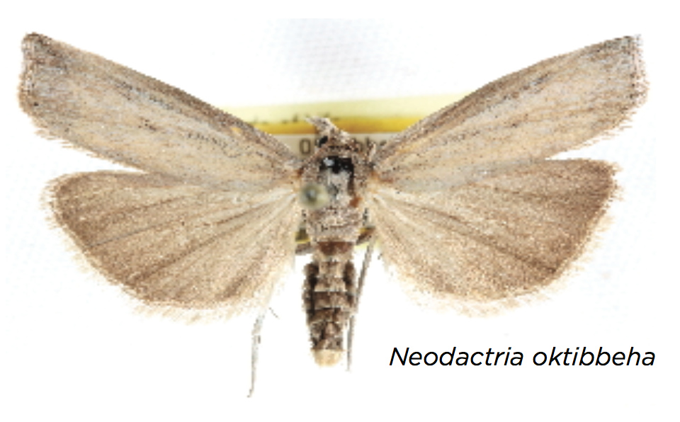 The exploration of the South's grasslands continues to yield new discoveries. Researchers at the Mississippi Entomological Museum discovered this new moth at a single small prairie remnant in Starkville, Mississippi.