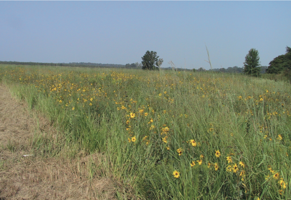 After the prairie above was moved to its new home, it was discovered that nearly 100% of the species known to occur at this prairie prior to the move survived the relocation. Although prairie relocation should be done only as a last resort, this provides an option for rescue of some deep-soiled types of grasslands.