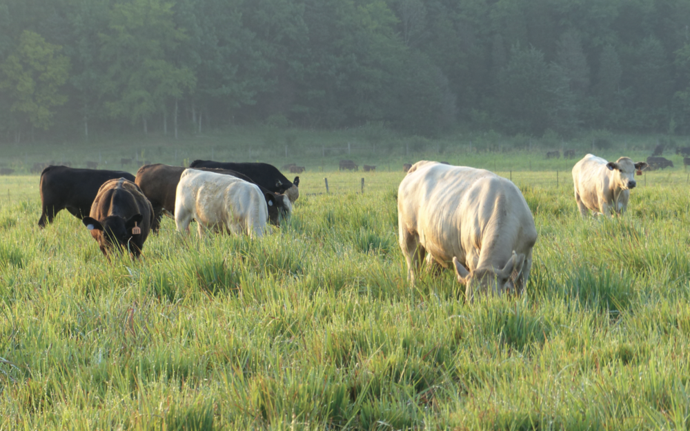 Cattle grazing on native grasses on a Tennessee farm (photo credit: Kyle Brazil). The Center for Native Grasslands Management (CNGM) at the University of Tennessee is a leader in restoration of native grasses for grazing lands.