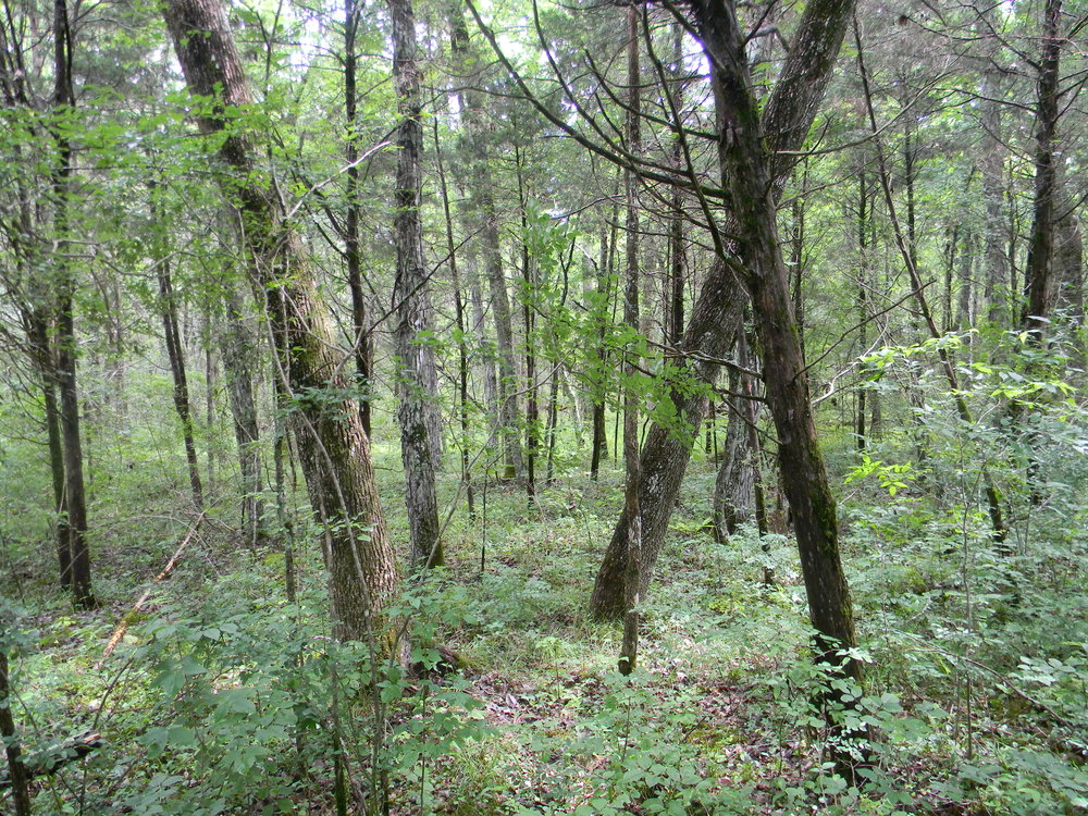 The Redcedar-Blue Ash Woodland, recognized as a rare community (G3) by NatureServe, may in fact be somewhat an artifact of fire suppression, though this woodland probably would have been the natural type in some extremely rocky woodlands with abundant karst exposures that would have been difficult for fire to move through. Photo credit: Dwayne Estes.
