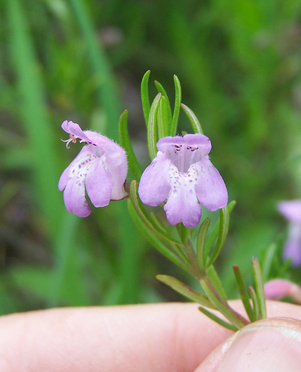 Cumberland Rosemary (Conradina verticillata) is a narrowly endemic species known from just four counties in Tennessee and one county in Kentucky where it is restricted to Cumberland Plateau Sandstone Riverscour Barrens. Photo credit: Dwayne Estes.